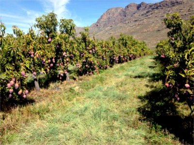A mango plantation in the Cederberg mountains of South Africa